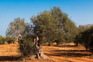 Olives vinolio